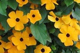 Buena pesca en venta-100pcs una semilla de flor amarilla oscura determinada de Susan de la cosecha JARDÍN DIY DEL HOGAR BUEN REGALO PARA SU AMIGO Por favor acaricie