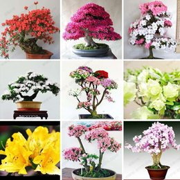 Wholesale 10 bag Rare Bonsai Varieties Azalea Seeds DIY Home Garden Plants Looks Like Sakura Japanese Cherry Blooms Flower Seeds