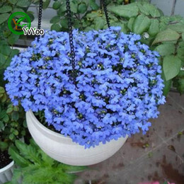 Blue linen Seeds Bonsai Flower for Indoor Rooms Seed 50 Particles   lot H032