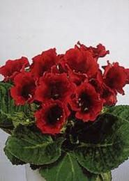 Wholesale 25 seeds pack GLOXINIA AVANTI SCARLET FLOWER SEEDS