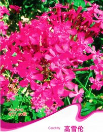 Wholesale Silene Armeria Seeds Caryophyllaceae Angiospermae Flower Garden Plants A119