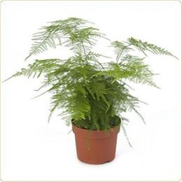 Wholesale 25 Asparagus Fern Seeds Plumosa Lace Fern Excellent for DIY Home Garden Bonsai