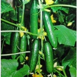 Wholesale 500 Japan Cucumber Seeds Better Taste Easy Growing DIY Home Garden Vegetable SS060