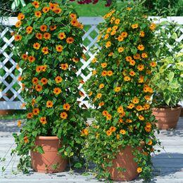 Wholesale Thunbergia alata Seeds communément appelé Black eyed Susan vigne Climber fleurs jardin plante décoration livraison gratuite P14