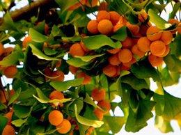 Wholesale 30pcs a Set Ginkgo biloba tree seed rare Home Garden Diy Reasonable Choice For You Good Quality