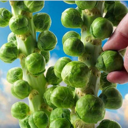 Wholesale Europe Sub Hot Organic Brussels Sprouts Seeds Of Vegetable Seeds Pack Seeds