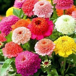 Wholesale Heirloom Scabiosa Zinnia Seeds Best Germinate Bonsai Seeds Flower Richly Flowering Garden