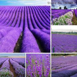 Wholesale Lavender Seeds Lavandula Officinalis Garden Flower Medicinal Plant Quality AA