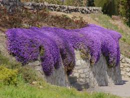 ROCK CRESS SEEDS CASCADE MIX - Aubrieta cultorum hybrida garden decoration flower 40pcs A027