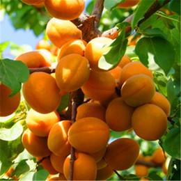 Wholesale Rare Apricot tree Seeds Organic Fruit Apricot tree Tree Seeds Home Garden Fruit Plant Bonsai Seeds Can Be Eaten A029