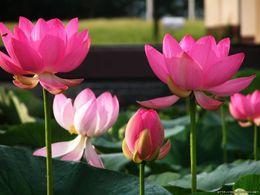 Bonsai Lotus  water lily flower Bowl-Pond Lotus seeds Pink Lady Lotus garden decoration plant 10pcs F135
