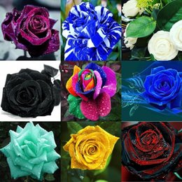 Wholesale Colorful Beautiful Seeds Pieces Seeds Per Package New Arrival Two Colors Ombre Graceful Beautiful Garden Plants Fast Shipping