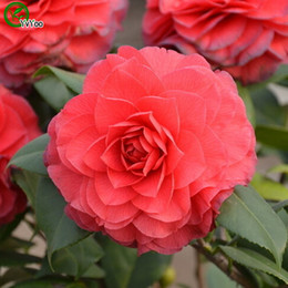 Camellia Seeds Organic Flower Seeds Indoor Bonsai plant 10 particles   lot F012