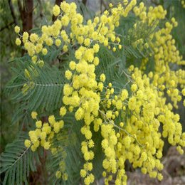 50 Golden Mimosa seeds, beautiful Acacia Baileyana Yellow Wattle Tree Flower Seeds evergreen bonsai , blooms all year round