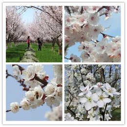 Wholesale 5seeds bag Hot sale new home garden plant apricot seeds fragrant flowers in spring