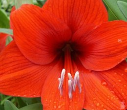 Wholesale 3pcs a set abba Hippeastrum Flower Bulb real Reasonable Price And Good Quality Home Garden