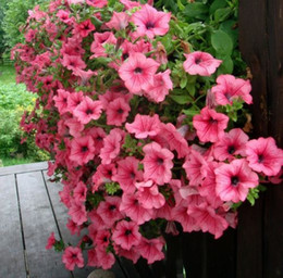 Petunia Seeds Shock Wave Mix 200 Pelleted Seeds NEW VARIETY garden decoration plant L48