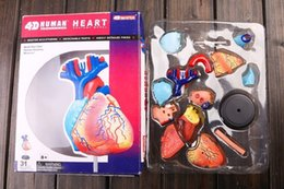 Wholesale D master model colored heart assembled Human Anatomy dimensional model