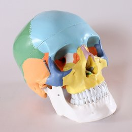 Wholesale life size Human anatomy skull brain skeleton anatomical dental dentist lab anatomia model skin in trauma for bag refrigerator