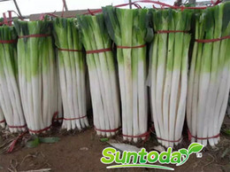 Suntoday Home &Garden Asian vegetable resistant to heat and cold Chinese green onion scallion seeds(39001)