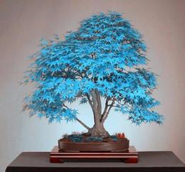 Цветковые деревья для продажи-Бонсай голубой клен дерево семена бонсай дерево. Редкий голубой японский клен семена балкон растения для дома сад цветок