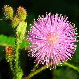 Wholesale New Arrival Seeds pack bonsai Albizia Flower seeds called Mimosa Silk Tree flower potted plants For Garden Home