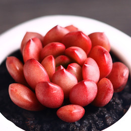 30   PCS ruby shells horticulture, horticulture plant seed flower potted plant combination of the old pile of new meat seeds and the south K