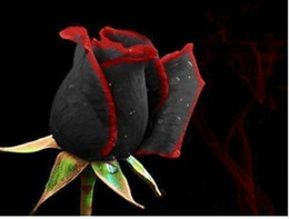 Wholesale 60 Seeds Per Package Black Red Rose Flower Seeds Bonsai Balcony Potted Barrier Flowers Garden Plants