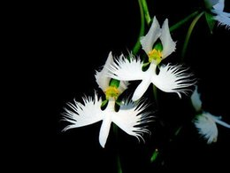 Wholesale World s Rare Flower Japanese Radiata Seeds For Garden Home Planting Semillas Flora White Special Flowers lt no tracking