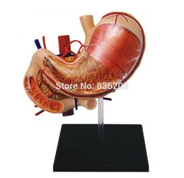 Wholesale quot D master STOMACH ANATOMY TORSO ANATOMY MODEL medical human skull skeleton anatomical model Science Educational Toys puzzle