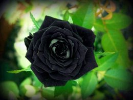 Colors Rose Black Rose Seed 10 colors 100 seeds per package flower seeds home Garden Free Shipping