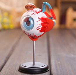 Wholesale Master D eye model assembled human anatomy model new D structure of the eye puzzle