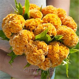 1000 Pcs Giant Yellow Cockscomb Flower Seeds Celosia Super Easy to Grow for Flower Beds, Container,Balcony