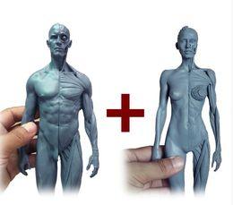 Wholesale cm l Human anatomy Male female Flesh Anatomy comparative anatomy set skull brain skeleton dental camera make up model
