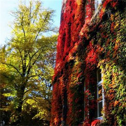 Wholesale 100pcs Boston Ivy Seeds Original Japanese Creeper Seeds Green Grass Seed Anti radiation Ultraviolet Ray For Home Garden