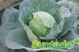 Suntoday Home &Garden Asian vegetable resistant to heat and cold Chinese cabbage seeds(31001