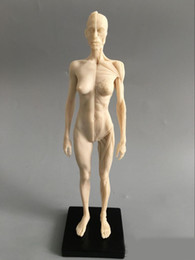Wholesale cm Art mannequin musculoskeletal anatomical model structure of human body model CG Art Painting Sculpture model male female