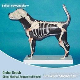 Wholesale A24 Advanced Anaimal Dog Half Skeleton Anatomic Model