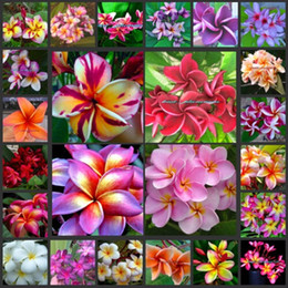 Wholesale 10pieces Real Plumeria Seeds Mixed Color Plumeria Rubra Flower High Germination Rate For Sample Trial Order