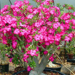 Wholesale 100 True Desert Rose Seeds Beautiful Bonsai Balcony Flower Adenium Potted Seeds