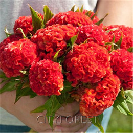 1000 Pcs Giant Red Cockscomb Flower Seeds Red Velvet Celosia Super Easy to Growg Attractive Flower Beds Balcony Container Flower