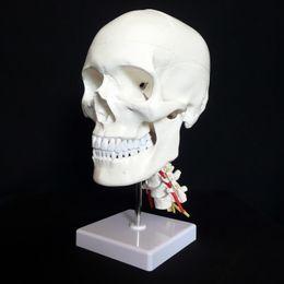Wholesale Human dental teeth model viewerskull brain skin anatomy skeleton anatomical sitting posture esqueleto humano anatomia in trauma