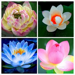 Discount Blue Lotus Pictures | 2016 Blue Lotus Pictures on Sale at ...