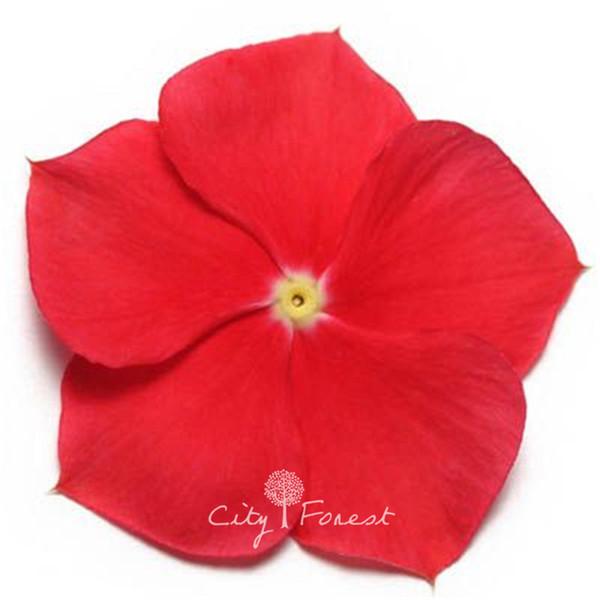 100 шт. Красный Мадагаскар Барвинок семена цветов Catharanthus roseus Vinca фото