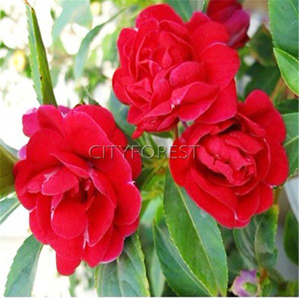 100 красный двухместный Камелия Бальзамин недотрога Бальзамин Камелия Баалшамина фото