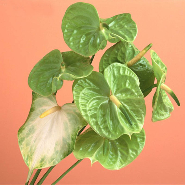100 / сумка редкие семена цветов зеленый Антуриум Andraeanu семена балкон горшках семен фото