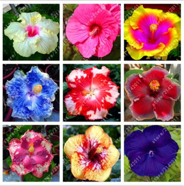 100 шт. / пакет смешанные гибискус семена цветов гигантский гибискус семена бонсай фото