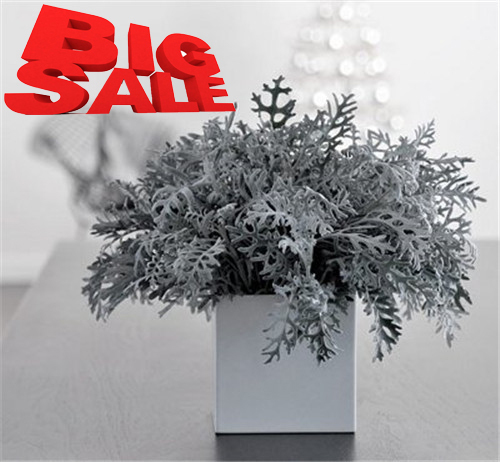 Wholesale 100 original whole sale ten pack pieces dusty miller Silverado ornamental foliage plants bonsai bulk flower seeds