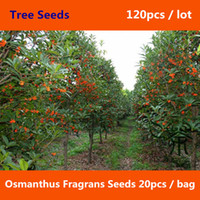olive tree - Osmanthus Fragrans Seeds Fragrant Olive Sweet Osmanthus Tree Seeds Cultivated As An Ornamental Plant Sweet Olive Seeds