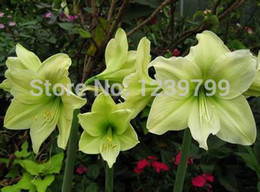 Wholesale Amaryllis bulbs Home decoration yellow bulbs big flower bulbs amaryllis sementes de flores semillas casa e jardim garden gift